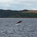 Dophins in Inverness Firth