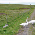 Blocked road by swans