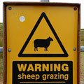 Be aware of the sheeps...