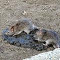 Rats on a cowpat