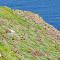 Hundrets of puffins on the cliffs of the east coast