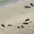 Seals on several beaches on the west coast. Due to hunting Orcas they spend a lot of time on the beaches.