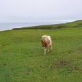Curious Shetland pony