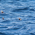Puffins looking for fishes