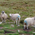 And more sheeps...