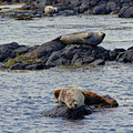 Harbor seals and grey seals sharing the place