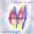 Myoga ginger