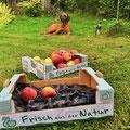 Apfelernte unter Nalas kritischem Blick :)