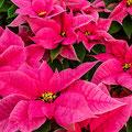 weihnachtssterne2_gaertnerei_heins