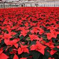 weihnachtssterne_gaertnerei_heins