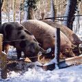 Nos porcs en hiver