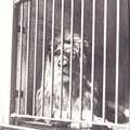 Der Löwe im Schweinfurter Zoo