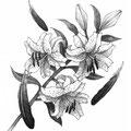 オール讀物2017年7月号「すみのさくら」阿部智里著:挿絵