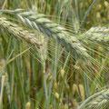 Ein wogendes Getreidefeld für frisch gebackenes Bauernbrot