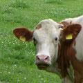 Junge Rinder auf saftigen Weiden - alles garantiert Bio