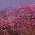 小豆島 海岸脇で見つけた梅?と椿 【2012.03.20】