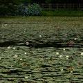廿日市市原 極楽寺山 蛇の池にて 【撮影:2010.7.6】