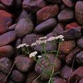 富良野市 畑脇にある掘り出された石積み 【撮影:2011.7.15】