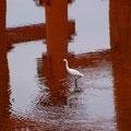 大鳥居下の干潟にて 【撮影:2009.5.30】
