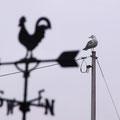 尾道市久保にて 鳥vs鶏 【撮影:2009.3.8】