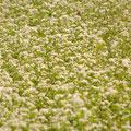東広島市豊栄町 蕎麦の花 【撮影:2010.9.10】