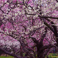 岡山市 後楽園にて 【撮影:2012.3.18】
