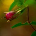 ツルリンドウ 『おおの自然観察の森』にて 【2012.10.24】