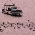 冬場現れる鵜の群れと底引き網漁船   廿日市市阿品 【撮影:2009.11.29】