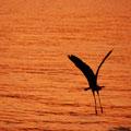 蒼鷺 大鳥居近くの浅瀬にて