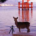 鹿と大鳥居  【2012.2.3】