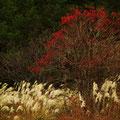北広島町東八幡原 カンボク?の赤い実がきれい