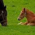 撮影:2010.05.26  馬たちの記憶 ~新冠町の親子~