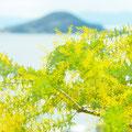 小豆島 オリーブ公園にて ミモザ 【2012.03.19】