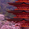 うぐいす歩道から望む五重塔 【2012.4.7】