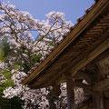 円光寺の山門桜 【2013.4.8】