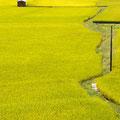 東広島市河内町 黄金色に染まる稲田風景 【撮影:2010.9.10】