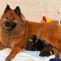 Isy nach der Geburt am 20.04.2014 (Foto: Eurasier vom Bärenschlössle)