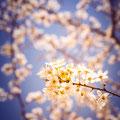 104|365 13.03.2016 Kirschblüte