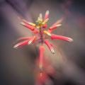 353|365 17.11.2016 - Aloe striata