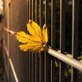 324|365 19.10.2016 - Herbstlaub