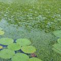 オニバスとヒシの混生フィールド。ヒシが水面を覆いつくすと、オニバスのフチにアタックが集中する、オニバスパターンに!