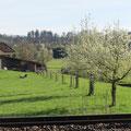 Die Reihe mit jungen Birnbäumen bei Pt. 15