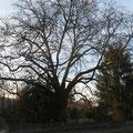 Platane im alten Park an der Säntisstrasse vor dem Kreisel Pt. 24