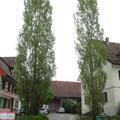 Die zwei Pappeln bei der Hofeinfahrt beim Schlösslipark Pt. 11