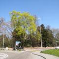 Erster Blick auf die Bäume des Parkes an der Ecke Säntisstrasse 21 / Romanshornerstrasse Pt. 25