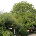 Der Nussbaum gegenüber dem Floristik- und Geschenkladen Pfefferminz in Biessenhofen