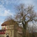 Die Trauerweide beim Schloss Hagenwil Pt. 20