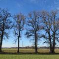 Die Baumreihe entlang des Biessenhoferbaches Pt. 14