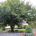 Bäume im Friedhof Oberaach Pt. 10