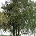 Das Baumensemble aus Birke, Douglasie, Föhre und Holunder beim Pt. 6